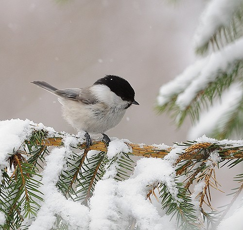 Chickadee playing in the snow