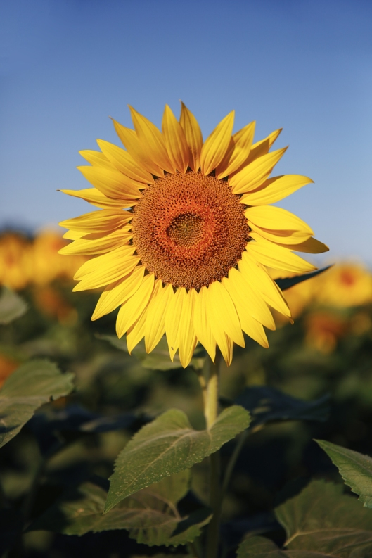 2_sunflower_02