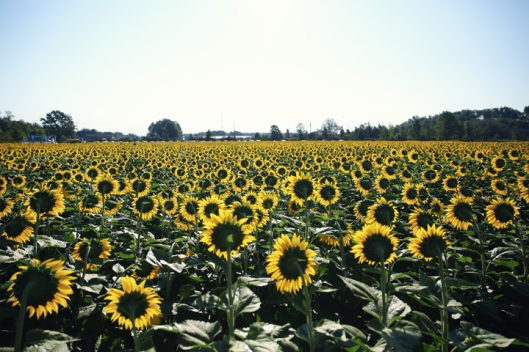 5_sunflower_19
