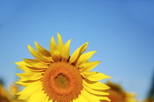 8_sunflower_11